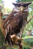 Águila-buho Imágenes de archivo libres de regalías