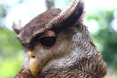 Águila-buho fotografía de archivo libre de regalías