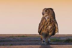 Águila-buho Imagenes de archivo