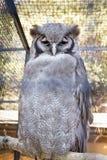 Águila-Buho de Verrauxâs foto de archivo