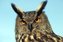 Águila-Buho eurasiático Fotografía de archivo libre de regalías