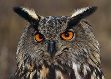 Águila-Buho eurasiático Imagen de archivo libre de regalías