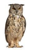 Águila-Buho eurasiático, bubón del bubón Imágenes de archivo libres de regalías