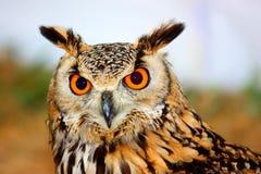 Águila-Buho indio (bengalensis del bubón) imágenes de archivo libres de regalías