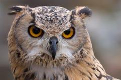 Águila-Buho que busca para la presa Imagen de archivo