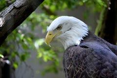 Águila calva fotos de archivo libres de regalías
