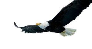 Águila calva (22 años) Fotos de archivo