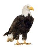 Águila calva (22 años) - leucocephalus del Haliaeetus Imágenes de archivo libres de regalías