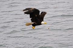 Águila calva. Fotos de archivo