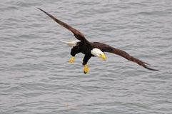 Águila calva. Imagen de archivo