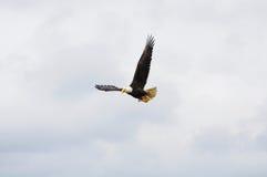 Águila calva. Fotografía de archivo