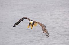 Águila calva. Imagen de archivo libre de regalías