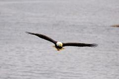 Águila calva. Foto de archivo libre de regalías