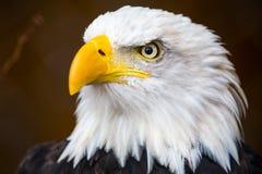 Águila calva Fotos de archivo
