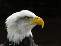 Águila calva imagen de archivo libre de regalías