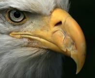 Águila calva, Alaska, los E.E.U.U. Foto de archivo