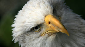 Águila calva, Alaska, los E.E.U.U. Fotos de archivo