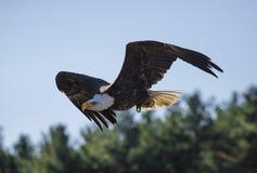Águila calva (albicilla del Haliaeetus) Foto de archivo libre de regalías