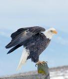 Águila calva alrededor a volar Imágenes de archivo libres de regalías