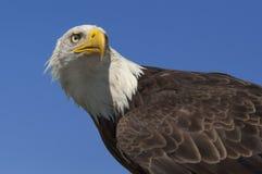 Águila calva americana Foto de archivo libre de regalías
