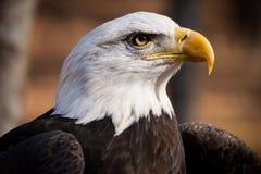 Águila calva americana Imagen de archivo libre de regalías