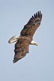 Águila calva americana Foto de archivo