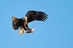 Águila calva americana Imagen de archivo
