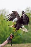 Águila calva americana con el halconero Ave rapaz en el disp de la cetrería foto de archivo