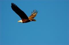Águila calva americana en vuelo Imagenes de archivo