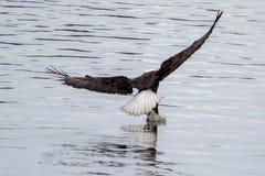 Águila calva americana en vuelo Foto de archivo libre de regalías