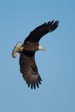 Águila calva americana en vuelo Imagen de archivo