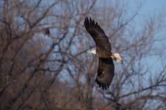 Águila calva americana en vuelo Fotos de archivo libres de regalías