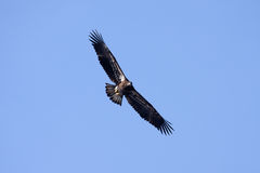 Águila calva americana juvenil Foto de archivo libre de regalías