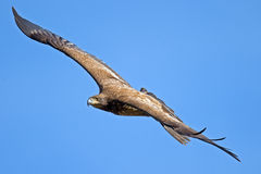 Águila calva americana juvenil Imagen de archivo