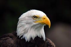 Águila calva americana (leucocephalus del Haliaeetus) Imagen de archivo