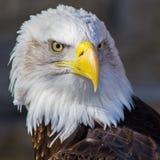 Eagle calvo Imágenes de archivo libres de regalías
