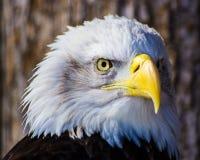 Eagle calvo Foto de archivo