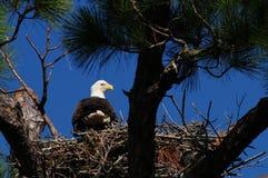 Águila calva de la jerarquización Imagen de archivo libre de regalías