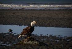 Águila calva desaliñada en home run, Alaska imagen de archivo libre de regalías