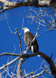 Águila calva en árbol Fotografía de archivo libre de regalías