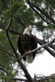 Águila calva en árbol de pino Fotografía de archivo