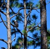 Águila calva en árbol en la Florida Fotos de archivo
