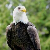 Águila calva en la perca - tiro cuadrado imagenes de archivo