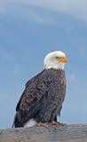 Águila calva en perca Imagenes de archivo
