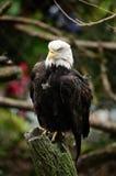 Águila calva en tocón de árbol fotografía de archivo libre de regalías