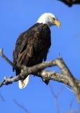 Águila calva en un árbol Foto de archivo libre de regalías
