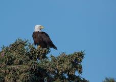 Águila calva en un árbol Fotos de archivo libres de regalías
