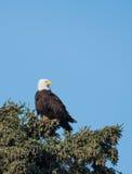 Águila calva en un árbol Foto de archivo