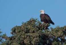 Águila calva en un árbol Imagen de archivo