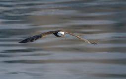 Águila calva en vuelo imagen de archivo libre de regalías